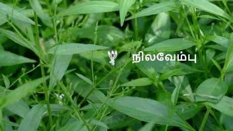 நிலவேம்பு மூலிகை - Nilavembu